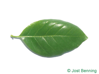 The ovoidale leaf of Black Tupelo
