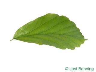 The ovoidale leaf of Persian Ironwood