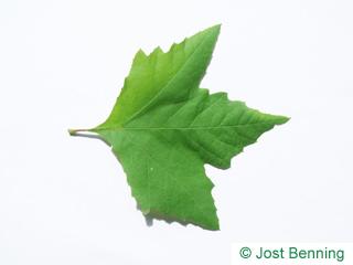The lobate leaf of platano orientale
