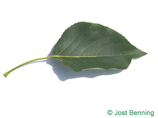 The ovoidale leaf of pioppo balsamico