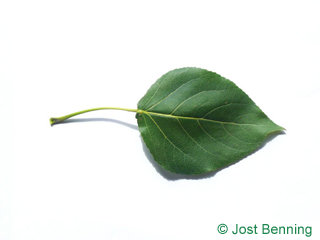 The triangolari leaf of pioppo carolina