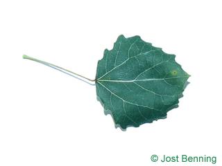 The arrotonate leaf of pioppo tremante