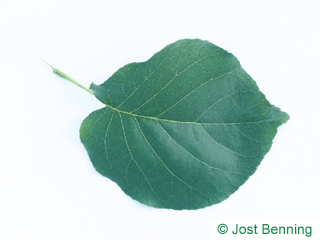 The ovoidale leaf of Bird Cherry