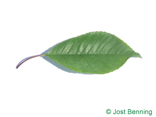 The ovoidale leaf of Fire Cherry