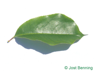 The ovoidale leaf of Black Cherry