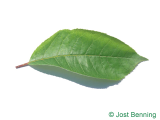 The ovoidale leaf of Bitter Berry