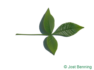 The composte leaf of Hoptree