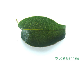 The ovoidale leaf of Pear