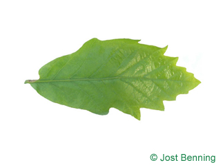 The curvate leaf of quercia bianca di palude