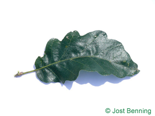 The curvate leaf of cerro