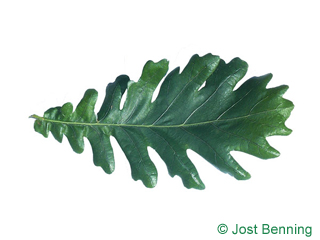 The curvate leaf of Hungarian Oak