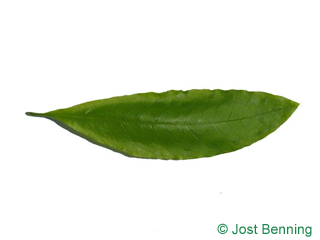 The lanceolate leaf of quercus imbricaria
