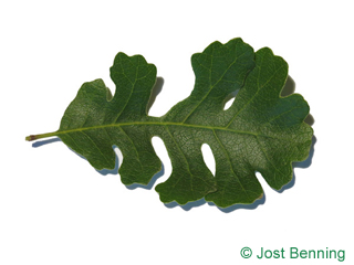 The curvate leaf of Valley Oak