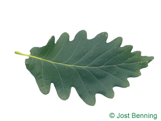 The curvate leaf of Caucasian Oak