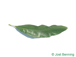 The lanceolate leaf of Willow Oak