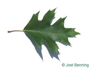 The curvate leaf of quercia rossa