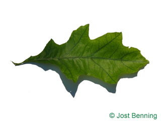 The curvate leaf of Shumard Oak