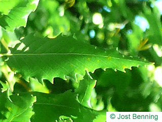 The ovoidale leaf of Macedonian Oak