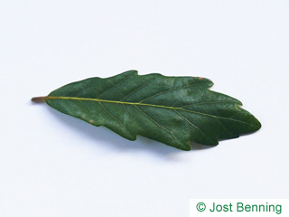 The curvate leaf of quercia di Turner