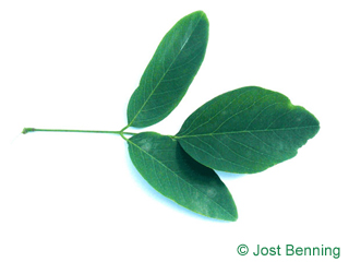 The composte leaf of Street Black Locust