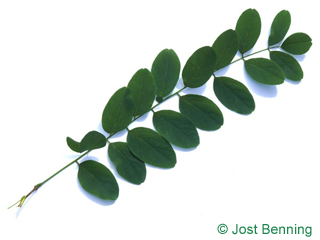 The composte leaf of Black Locust