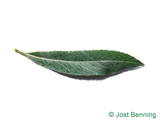 The lanceolate leaf of salice bianco