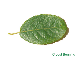 The ovoidale leaf of salicone | salix caprea