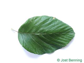 The ovoidale leaf of sorbo montano | sorbo farinaccio