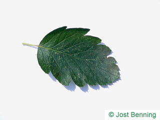 The ovoidale leaf of sorbus intermedia