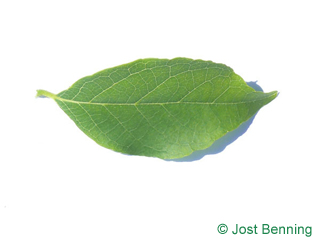 The ovoidale leaf of American Snowbell