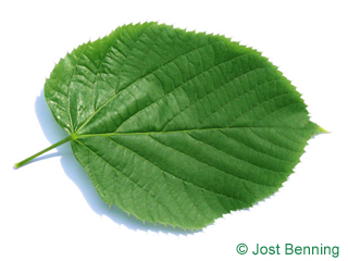 The a forma di cuore leaf of Large Leaved American Lime