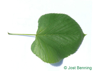 The a forma di cuore leaf of tiglio americano