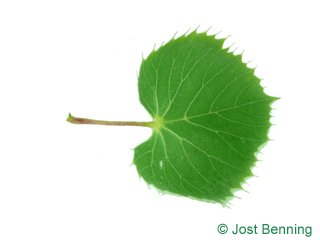 The a forma di cuore leaf of Henry's Lime