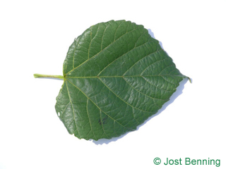 The a forma di cuore leaf of tiglio nostrano