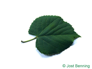 The a forma di cuore leaf of tiglio tomentoso