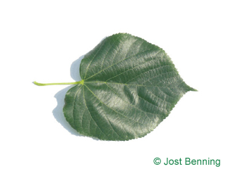 The a forma di cuore leaf of tiglio caucasico